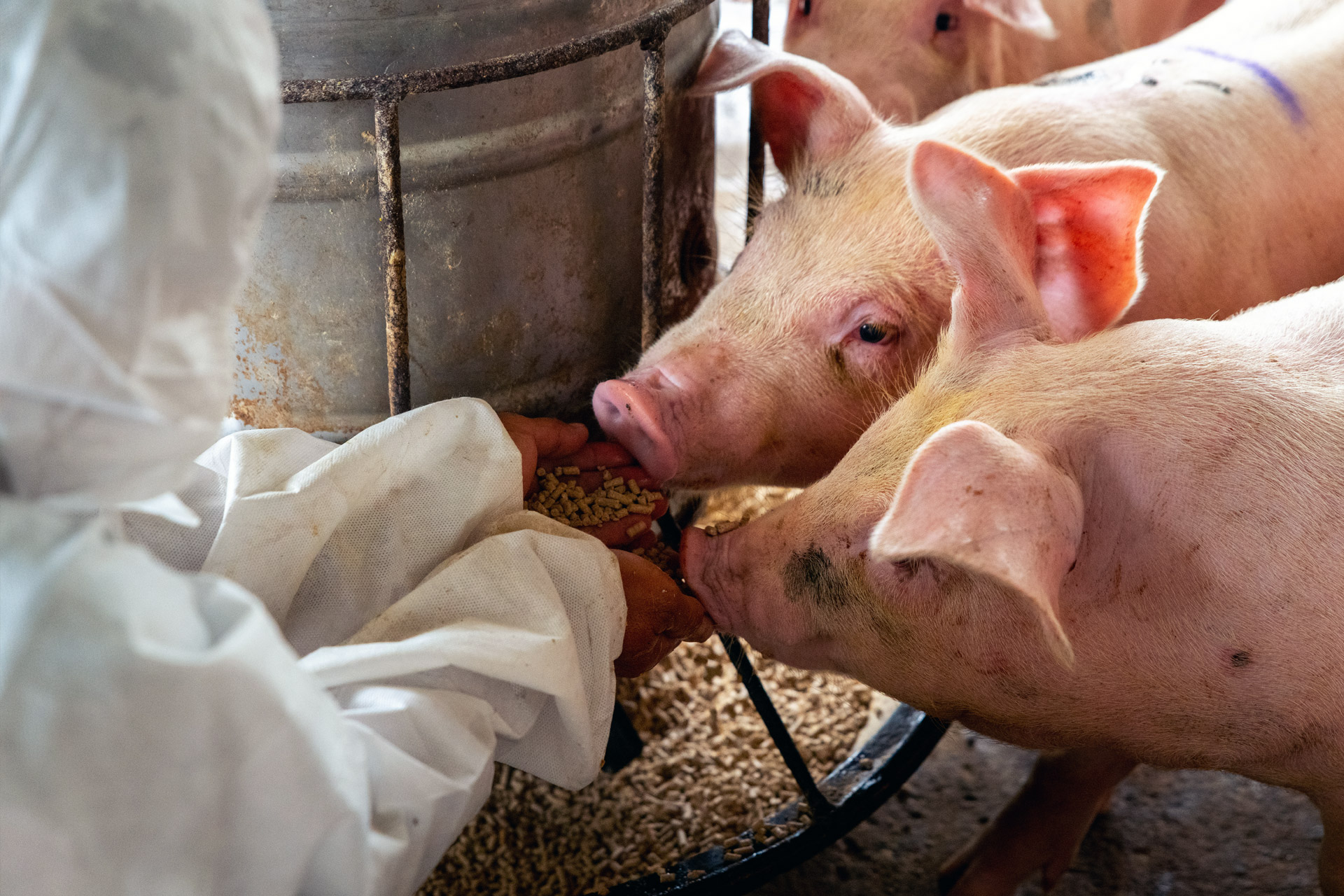 pigs being hand fed pellets