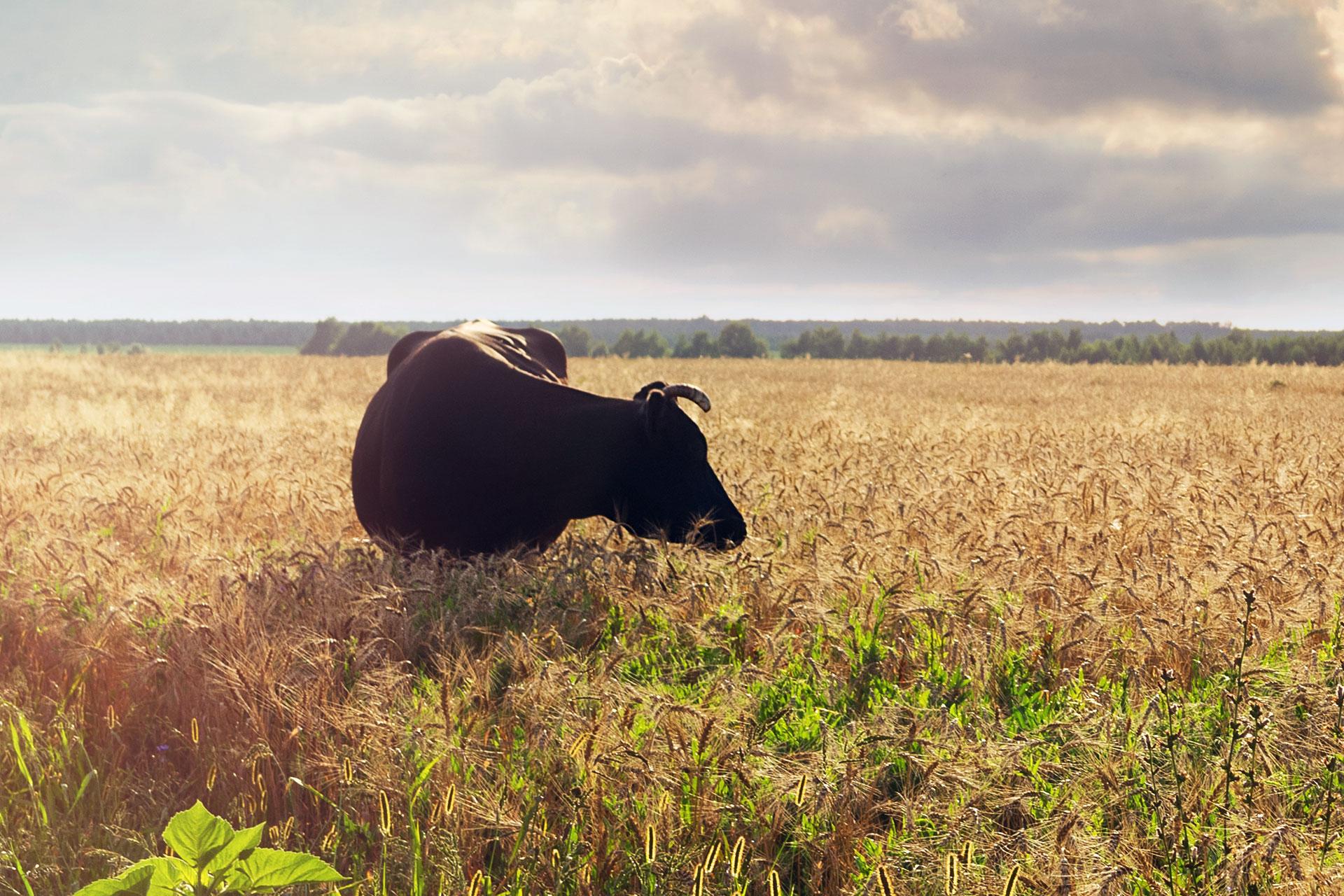 bull in a field of wheat